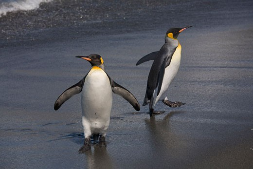 King Penguins on Beach, South Georgia Islands, Antarctica    : Stock Photo