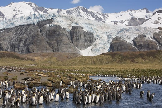 Stock Photo: 1828R-47249 King Penguin Colony on Shoreline, Gold Harbour, South Georgia, Antarctica