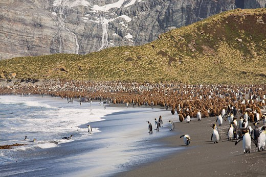 Stock Photo: 1828R-47259 King Penguin Colony on Shoreline, Gold Harbour, South Georgia, Antarctica