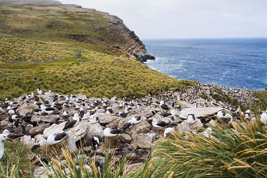 Stock Photo: 1828R-47265 Colony of Black-Browed Albatross, West Point Island, Falkland Islands