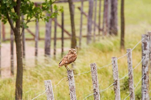 Stock Photo: 1828R-47287 Burrowing Owl, El Ombu Estancia, San Antonio de Areco, Buenos Aires Province, Argentina