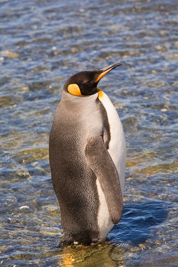 King Penguin, Gold Harbour, South Georgia Island, Antarctic Ocean, Antarctica    : Stock Photo