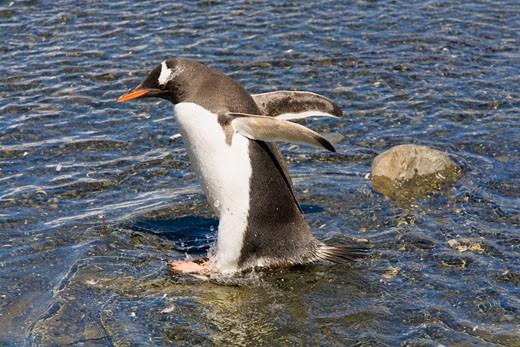 Gentoo Penguin Walking in Stream, Gold Harbour, South Georgia Island, Antarctic Ocean, Antarctica    : Stock Photo