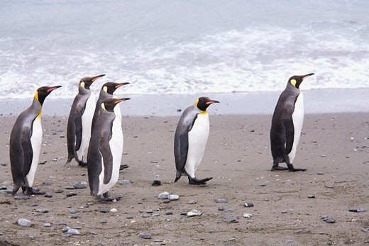 Stock Photo: 1828R-47293 King Penguins on the Beach, Gold Harbour, South Georgia Island, Antarctic Ocean, Antarctica
