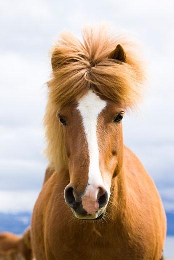 Stock Photo: 1828R-47626 Icelandic Horse