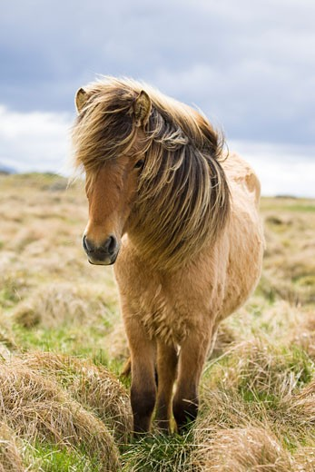 Stock Photo: 1828R-47627 Icelandic Horse