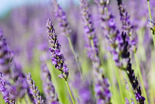 Stock Photo: 1828R-47738 Close-up of Lavender, Provence, France