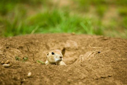 Stock Photo: 1828R-47810 Prairie Dog, Wind Cave National Park, South Dakota, USA