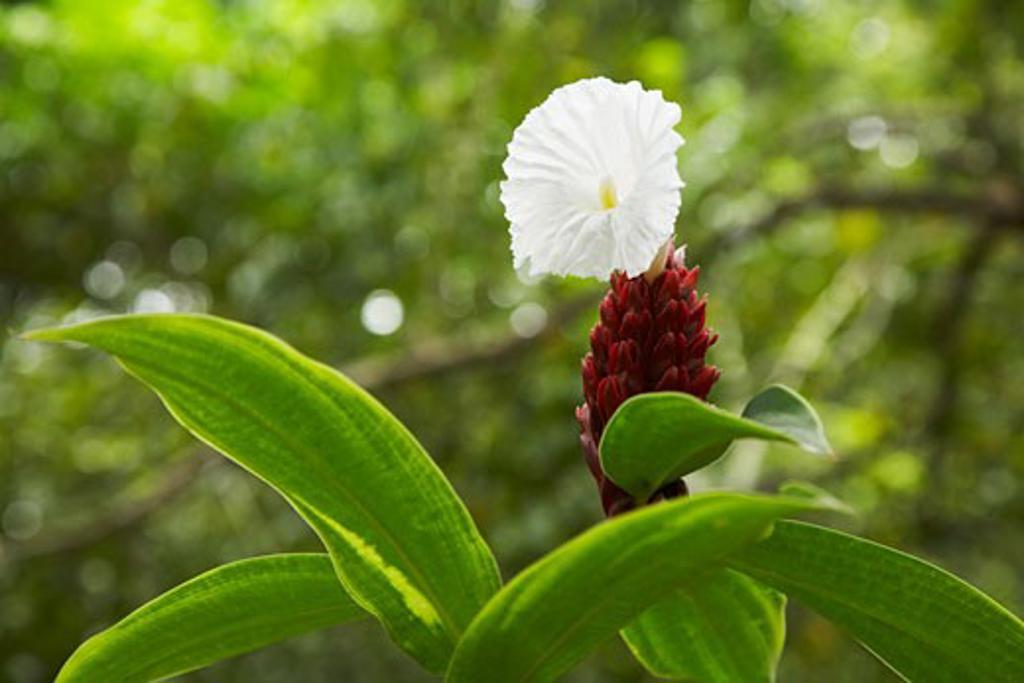 Flowering Plant in Rainforest, Belize    : Stock Photo