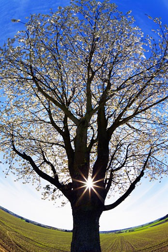 Stock Photo: 1828R-48433 Cherry Tree and Sun, Dachau, Bavaria, Germany