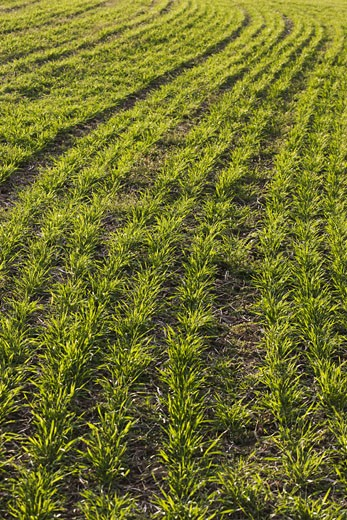 Stock Photo: 1828R-48553 Winter Wheat Growing in Farm Field