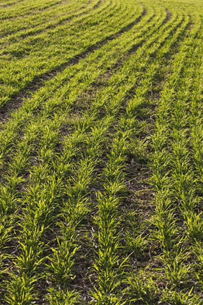 Winter Wheat Growing in Farm Field    : Stock Photo