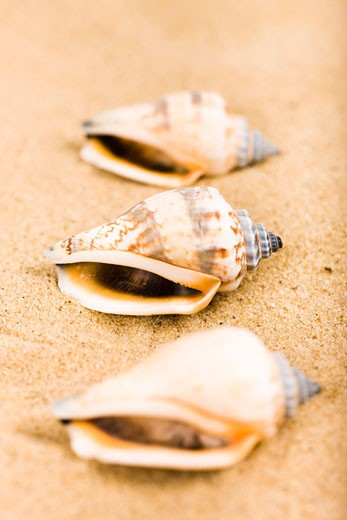 Seashells in Sand    : Stock Photo