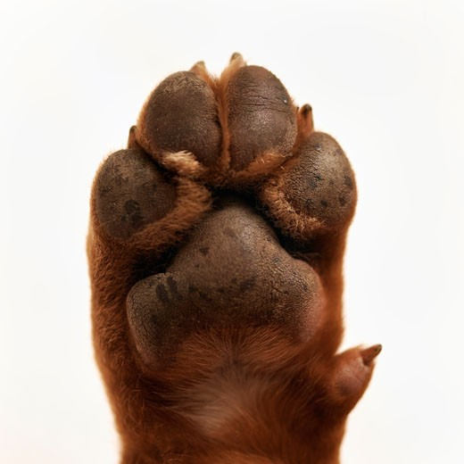 Stock Photo: 1828R-50289 Close-up of Dog's Paw