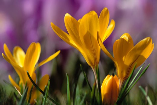 Stock Photo: 1828R-50723 Close-Up of Crocuses