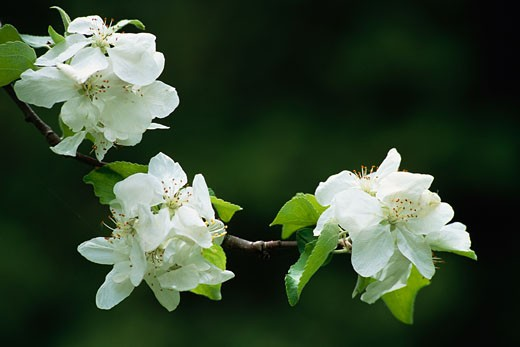 Stock Photo: 1828R-50728 Close-Up of Apple Blossom