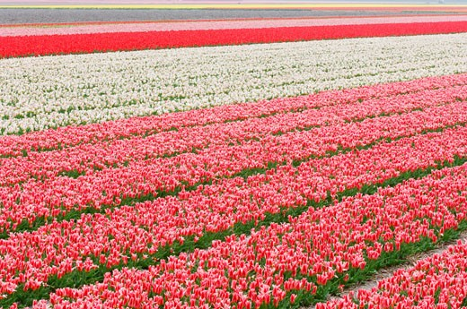 Stock Photo: 1828R-50941 Tulip Field, Lisse, Holland, Netherlands