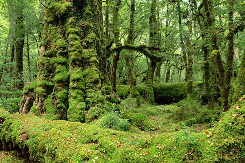 Lake Gunn Nature Walk, Fjordland National Park, South Island, New Zealand    : Stock Photo