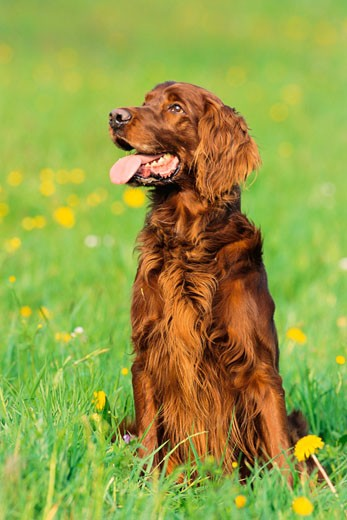 Stock Photo: 1828R-54587 Portrait of Dog