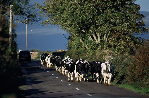 Stock Photo: 1828R-5608 Herd of Cows on Road, Ireland
