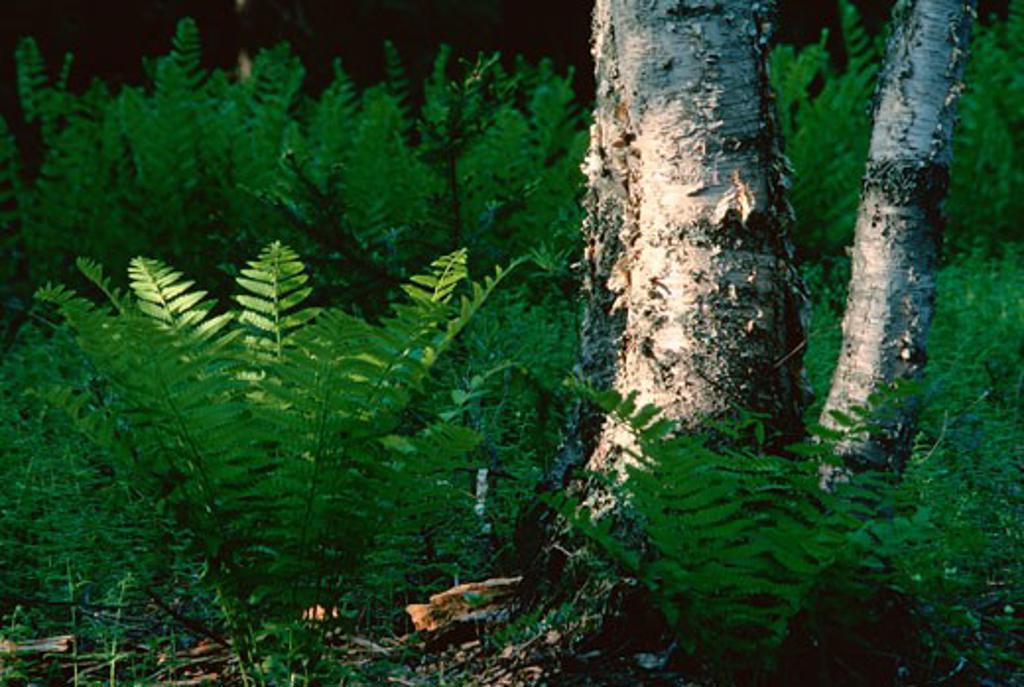 Stock Photo: 1828R-56780 Ferns, Shamper's Bluff, New Brunswick, Canada