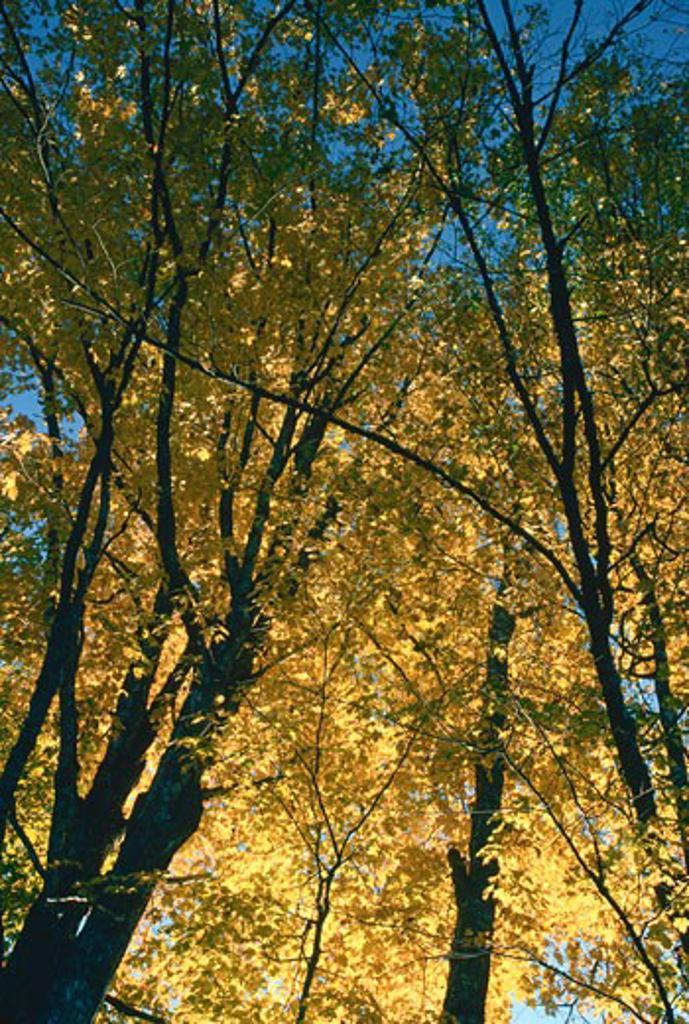 Maple Trees, near Kingston, New Brunswick, Canada    : Stock Photo