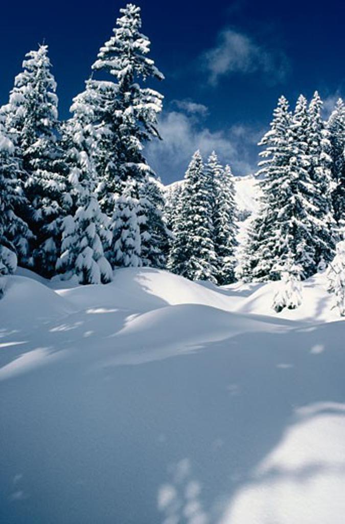 Stock Photo: 1828R-56941 Snow on Trees, Austria
