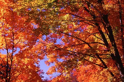 Maple Trees in Autumn, Gatineau Park, Quebec, Canada    : Stock Photo
