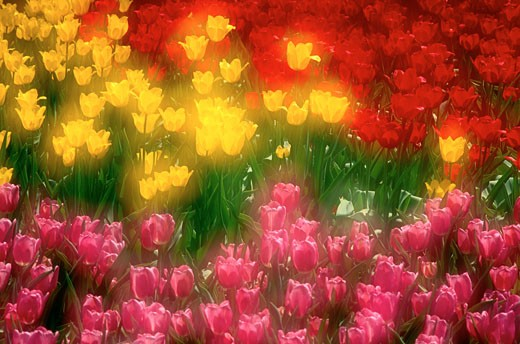 Tulips, Ottawa, Ontario, Canada    : Stock Photo