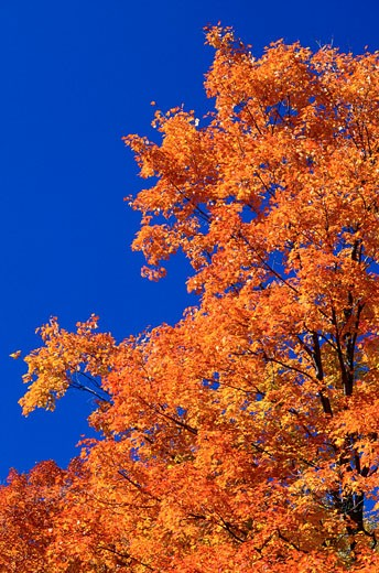 Maple Trees in Autumn, Gatineau Park, Quebec, Canada    : Stock Photo