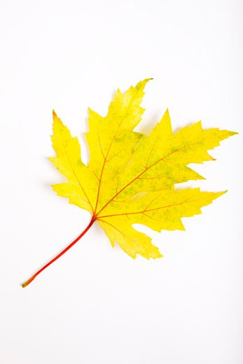 Stock Photo: 1828R-59115 Japanese Maple Leaf