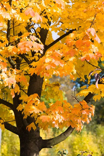 Stock Photo: 1828R-59132 Sycamore Tree in Autumn