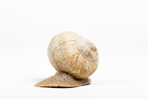 Stock Photo: 1828R-59134 Snail