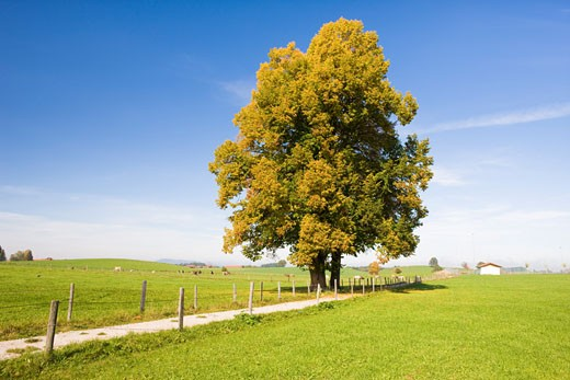 Stock Photo: 1828R-59139 Lime Tree by Path, Bavaria, Germany