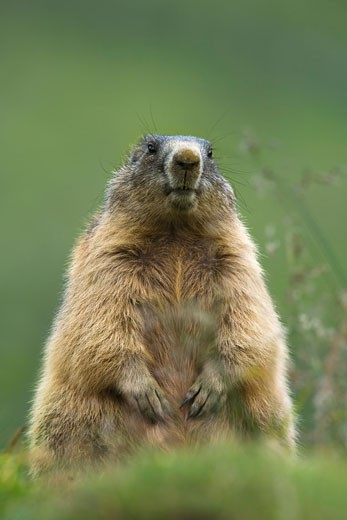 Stock Photo: 1828R-59216 Portrait of Alpine Marmot, Hohe Tauern National Park, Austria