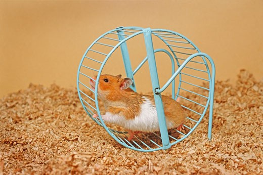 Stock Photo: 1828R-59252 Hamster Running on Wheel