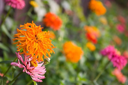 Colourful Flowers in Garden    : Stock Photo
