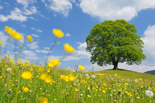 Lime Tree in Field in Spring, Canton of Zurich, Switzerland    : Stock Photo