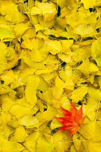 Stock Photo: 1828R-60914 Red Japanese Maple Leaf on Bed of Yellow Gingko Leaves