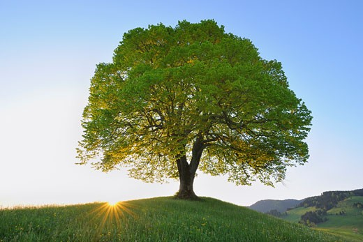 Stock Photo: 1828R-61737 Single Lime Tree at Sunrise, Switzerland