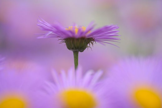 Close-up of Aster Flowers    : Stock Photo