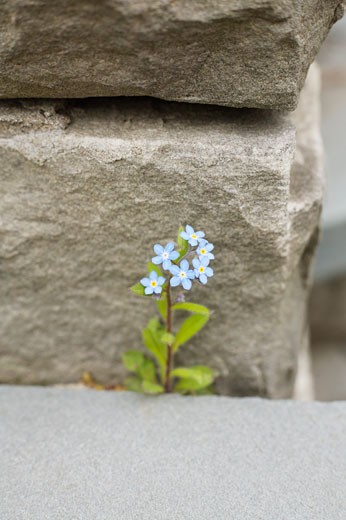 Forget-me-nots Sprouting Through Crack, Toronto, Ontario, Canada : Stock Photo