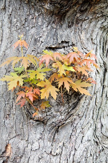 Maple Tree Sprouting New Leaves in Spring, Toronto, Ontario, Canada    : Stock Photo