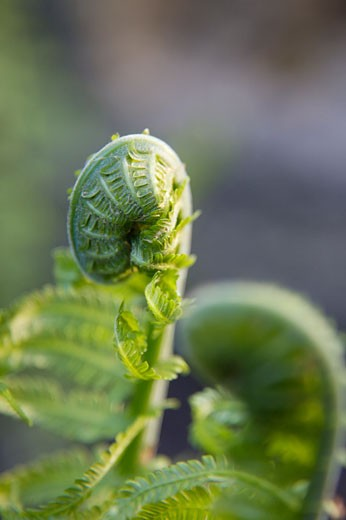 Fiddlehead Ferns in Spring, Toronto, Ontario, Canada    : Stock Photo
