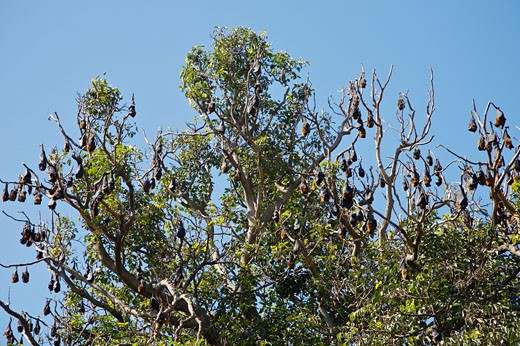 Grey-Headed Flying Foxes (Fruit Bats) and Tree Damage, Royal Botanical Gardens, Sydney, New South Wales, Australia    : Stock Photo