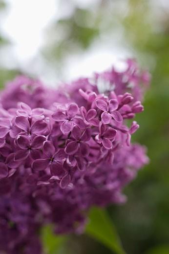 Lilac Bush, Toronto, Ontario, Canada    : Stock Photo