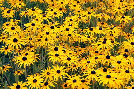 Stock Photo: 1828R-62518 Black-eyed Susans