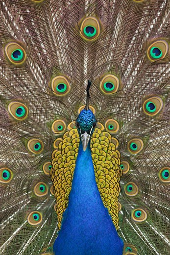 Stock Photo: 1828R-63083 Portrait of Male Indian Peacock