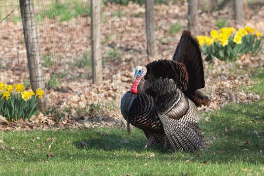 Male Wild Turkey : Stock Photo
