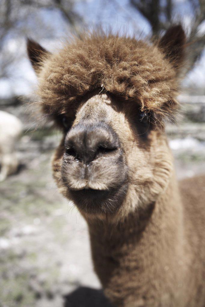 Stock Photo: 1828R-63517 Portrait of Alpaca